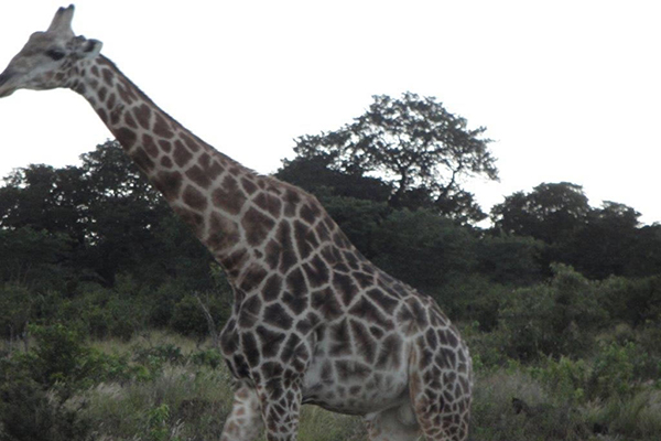 2a_african_photo_safari_giraffe