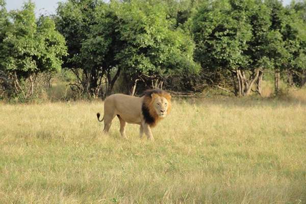 6_photo_safari_vacation_deals_lion