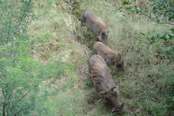 8b_african_vacation_warthogs